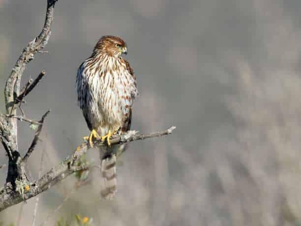 γεράκι πουλί άγρια ζώα