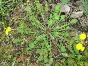 Ταραξάκο (Ραδίκι - αγριοράδικο): Ιδιότητες, θεραπευτικές δράσεις και τρόποι χρήσης