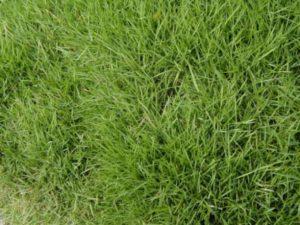 αγριάδα φυτά χόρτα