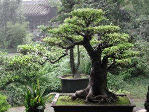 Μπονσάι φυτά δέντρα
