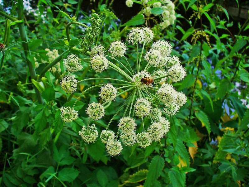 Αγγελική φυτό: Οι ιδιότητες του φυτού και γιατί αξίζει να το βάλετε στον φράχτη σας