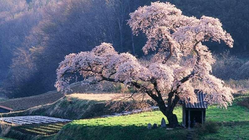 Ανθισμένη Κερασιά στην Ιαπωνία