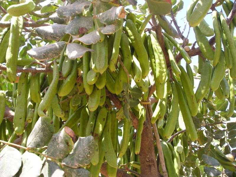 Δέντρο χαρουπιάς