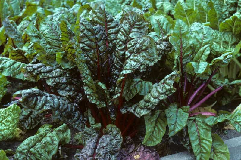 Σέσκουλο: Θεραπευτικές ιδιότητες και τρόποι χρήσης