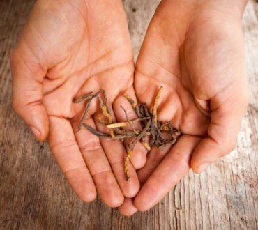 Μπορεί το φαρμακευτικό μανιτάρι κόρντισεπς να βοηθήσει στον έλεγχο του άσθματος;