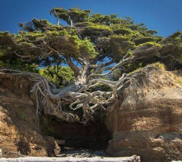 10 «αποφασιστικά» δέντρα που αρνούνται να πεθάνουν!