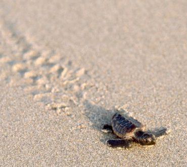 Επιστρέφουν οι θαλάσσιες χελώνες από τα πρόθυρα της εξαφάνισης;