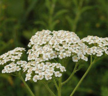 Αχιλλέα, το θαυματουργό βότανο από πυρετό, μέχρι δυσμηνόρροια