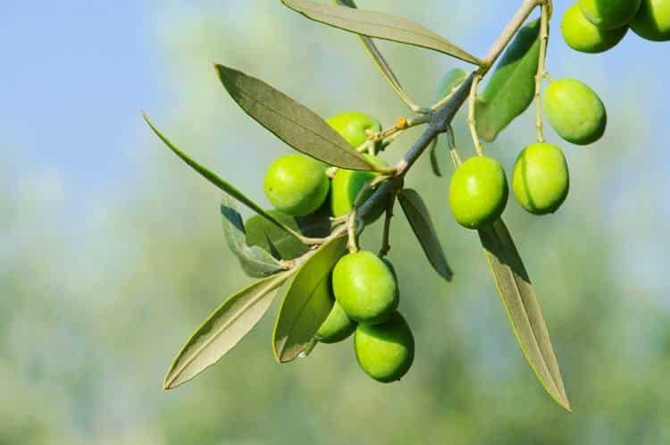 Ελιά, φύλλα ελιάς και ελαιόλαδο: Θεραπευτικές ιδιότητες και τρόποι χρήσης
