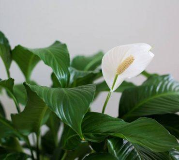 4 όμορφα φυτά που καθαρίζουν αποτελεσματικά τον αέρα του σπιτιού σας