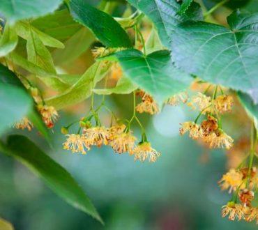 Δέντρο Φιλύρα - η Μητέρα της Αγάπης