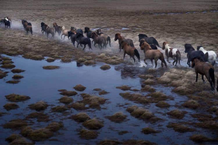 Τα θρυλικά άλογα της Ισλανδίας που μαγεύουν με την απόκοσμη ομορφιά τους (φωτογραφίες)