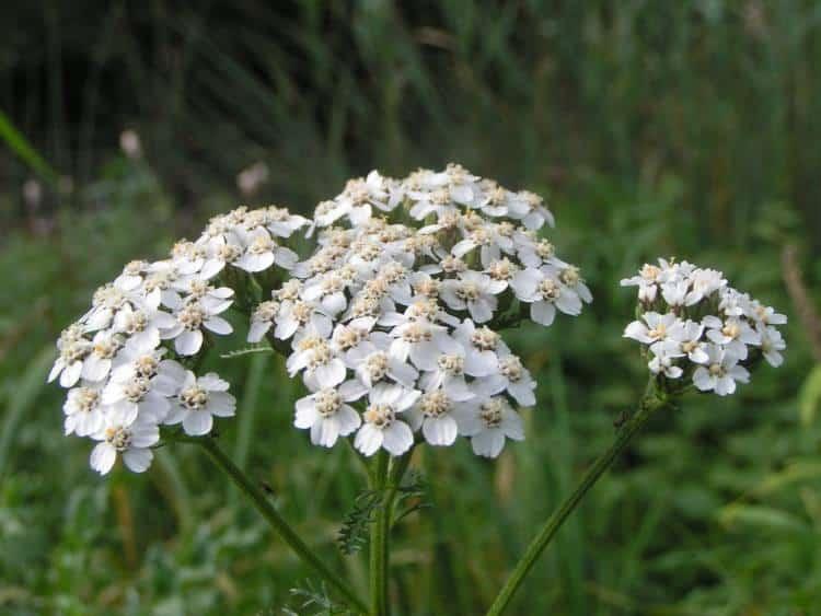 Αγριαψιθιά ή Αχιλλέα: Θεραπευτικές ιδιότητες και τρόποι χρήσης