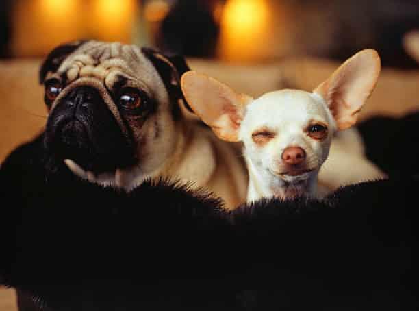Τα αυτιά του σκύλου είναι διαφορετικά. Τι σημαίνει αυτό και ποια τα προβλήματα στη συνύπαρξη με το σκυλί μας;