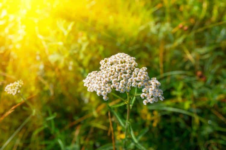 Αγριαψιθιά ή Αχιλλέα: 8 οφέλη της στην υγεία μας