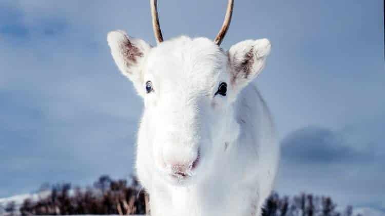 Ένας σπάνιος πανέμορφος λευκός τάρανδος εντοπίστηκε στα χιονισμένα βουνά της Νορβηγίας (φωτογραφίες)