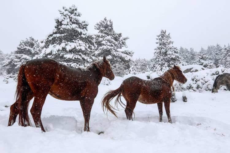 Πανέμορφο θέαμα: Άγρια άλογα απολαμβάνουν το χιονισμένο τοπίο της Σαμαρίνας (φωτογραφίες)