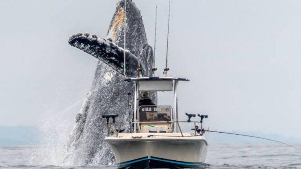 Μεγάπτερη φάλαινα αναδύεται δίπλα σε έναν ψαρά και κόβει την ανάσα (Βίντεο)