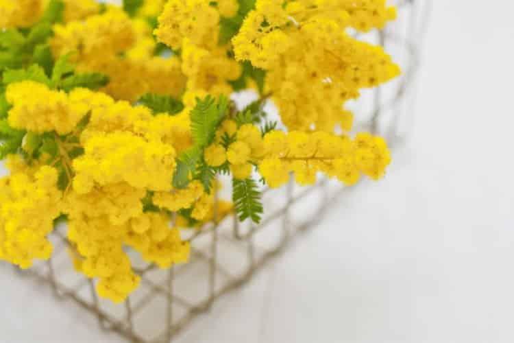 Κίτρινη Μιμόζα