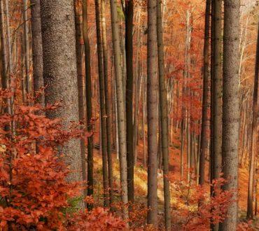 Τα κόκκινα δάση: Τα δέντρα της Ευρώπης υποφέρουν από την κλιματική αλλαγή