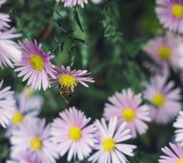 Τα λουλούδια «ακούνε» τις μέλισσες να πλησιάζουν και γλυκαίνουν το νέκταρ τους για να τις προσελκύσουν