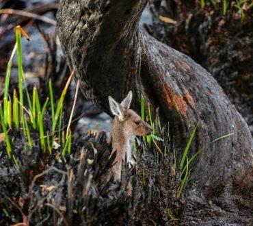 Αυστραλία: Η ζωή επιστρέφει ξανά στην καμμένη γη (Φωτογραφίες)