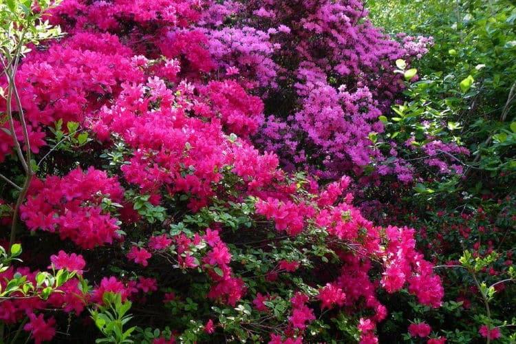 Αζαλέα: Πότε ανθίζει, ποιος είναι ο συμβολισμός και τα χρώματά της (λευκή, μοβ, ροζ και κόκκινη)