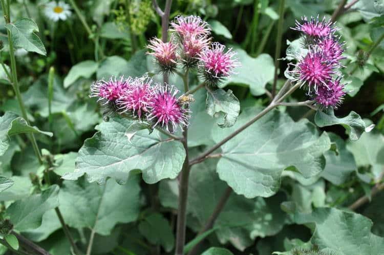 Κολλιτσίδα: Το ταπεινό βότανο και τα εξαιρετικά οφέλη του στην υγεία