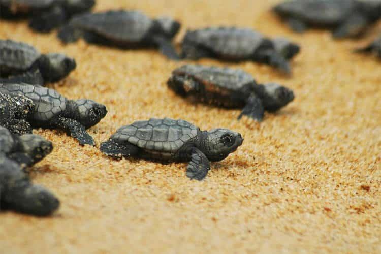 Ζάκυνθος: Ραγδαία αύξηση στις φωλιές των χελωνών καρέτα καρέτα μετά από 25 χρόνια