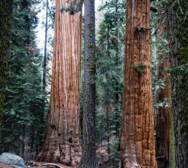 Καλιφόρνια: Αρχαίες σεκόγιες 2.000 ετών επιβίωσαν από τις καταστροφικές πυρκαγιές