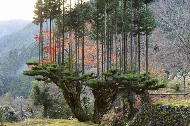 Daisugi: Οι Ιάπωνες καλλιεργούν δέντρα πάνω σε άλλα δέντρα βασισμένοι σε αρχαία τέχνη