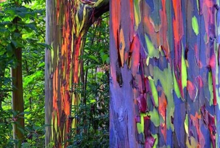 Ο ευκάλυπτος – ουράνιο τόξο είναι το πιο πολύχρωμο δέντρο που υπάρχει στον πλανήτη μας (Φωτογραφίες)