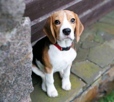 Πολωνία: Τυφλός σκύλος διέσχισε 25 χιλιόμετρα για να συναντηθεί ξανά με τον φροντιστή του