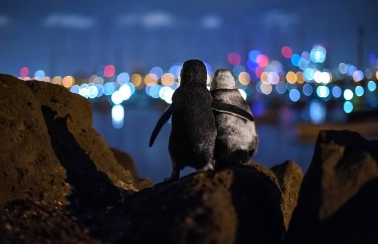Πρώτο βραβείο φωτογραφίας στην αγκαλιά δύο πιγκουίνων που έχασαν τους συντρόφους τους
