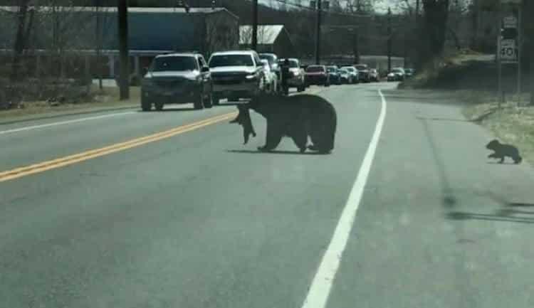 ΗΠΑ: Μαμά-αρκούδα προσπαθεί να περάσει το δρόμο με τα 4 ατίθασα αρκουδάκια (Βίντεο)