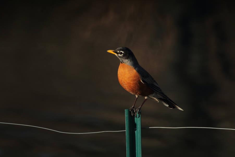 Τα μεταναστευτικά πουλιά «βλέπουν» το μαγνητικό πεδίο της Γης για να ταξιδέψουν