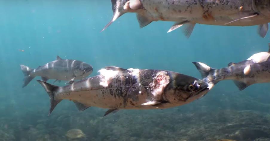 ΗΠΑ: Σολομοί υποφέρουν από μύκητες καθώς τα ποτάμια φτάνουν σε θανατηφόρες θερμοκρασίες