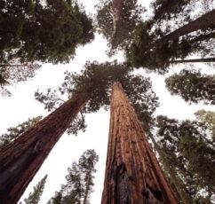 Καλιφόρνια: Πυροσβέστες κάλυψαν με αντυπυρική κουβέρτα το μεγαλύτερο δέντρο του κόσμου