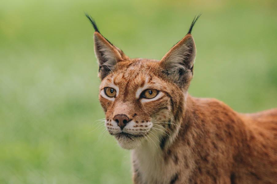 Ο λύγκας επέστρεψε στην Ελλάδα – Ο Αρκτούρος φιλοξενεί το είδος που είναι υπό εξαφάνιση