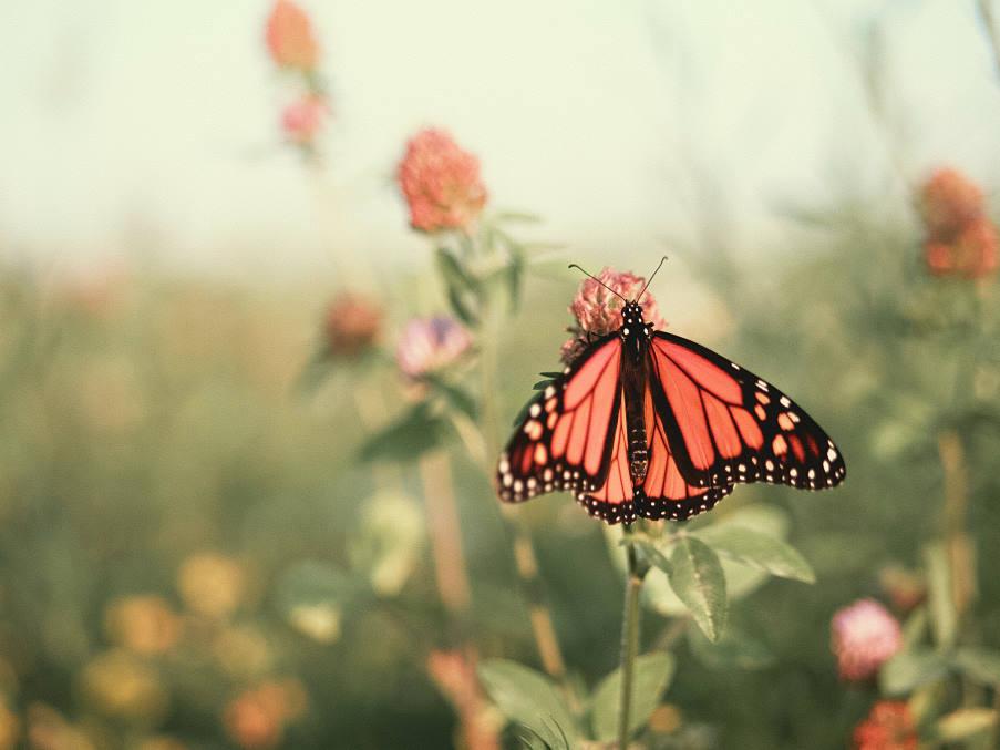 Ο μαγικός ήχος που παράγουν εκατομμύρια πεταλούδες Monarch καθώς χτυπούν τα φτερά τους (Βίντεο)