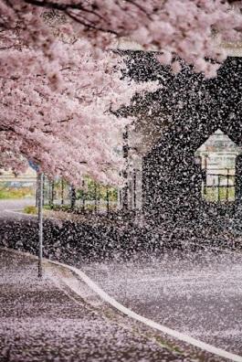 φύλλα από ανθισμένες κερασιές πέφτουν στο δρόμο