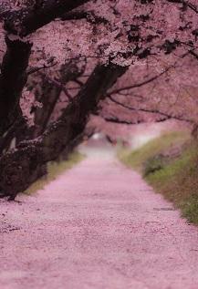 τοπίο με ανθισμένες κερασιές