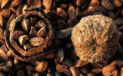 Βερθολλετία η υψικάρηνος (Βραζιλιάνικο Καρύδι) για καλή υγεία και διάθεση