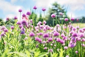 Σχοινόπρασο: Θεραπευτικές ιδιότητες και τρόποι χρήσης